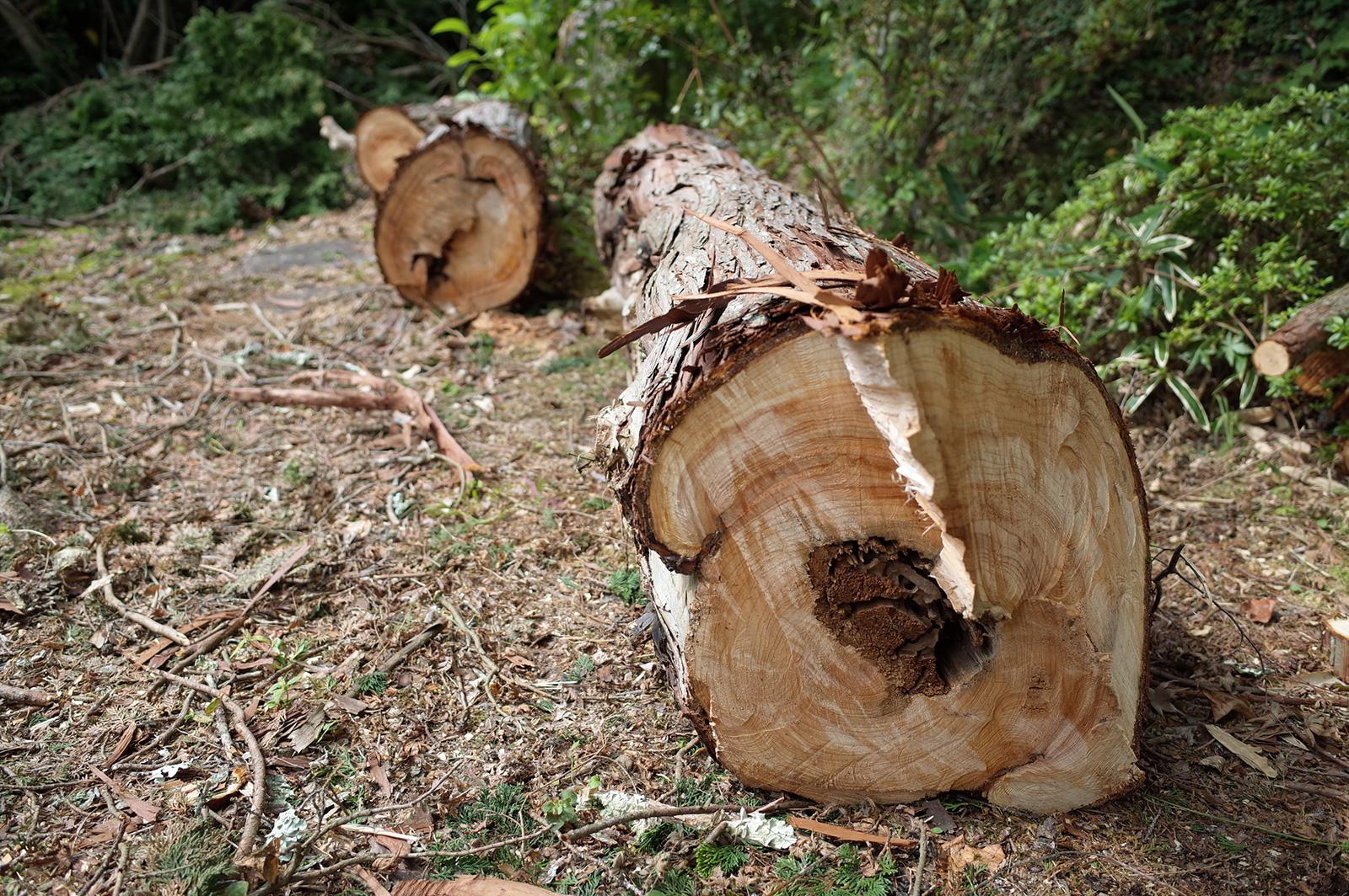 伐採されたヒノキ